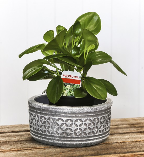 Jayde Peperomia PLant and pot gift