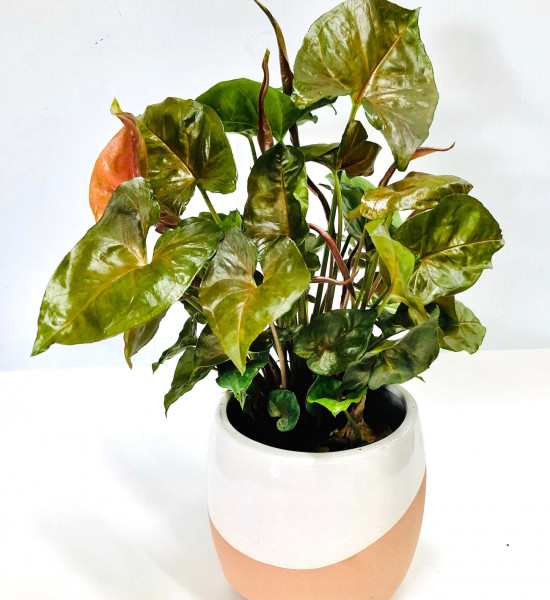 Pot Plant gift mothers day gift perth