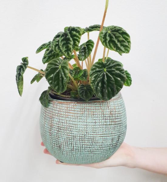 Pepermia plant